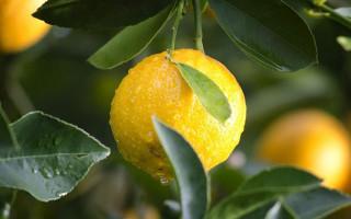 Лимон и цистит