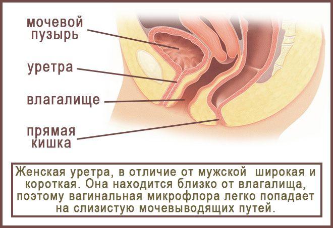 Нефролог или уролог лечит цистит