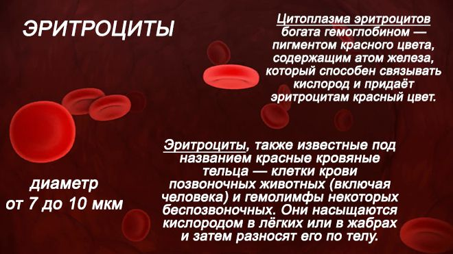 кровяны́е тельца́