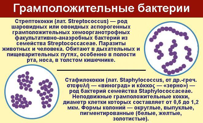 Грамположительные бактерии